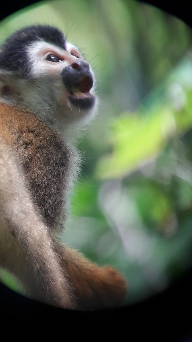 Saimir-oertedii-Squirrel-monkey